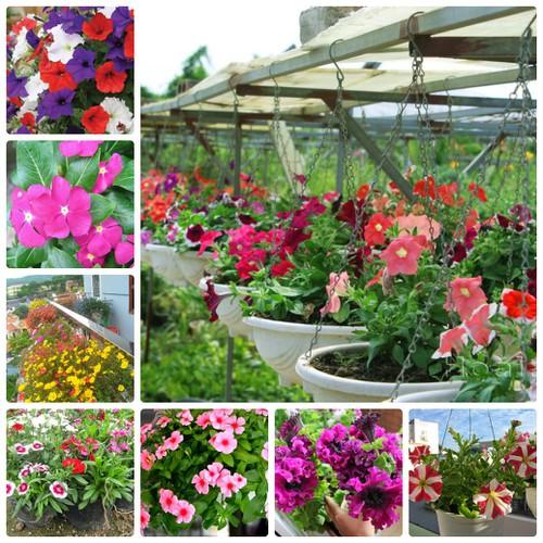 COMBO 10 loại hoa ban công đẹp dễ trồng