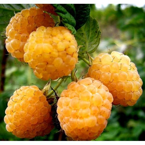 Hạt giống quả mâm xôi vàng
