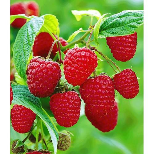Hạt giống quả mâm xôi đỏ