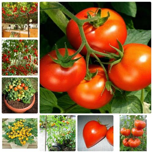 COMBO 18 loại hạt giống Cà Chua bốn mùa LUCKY SEEDS