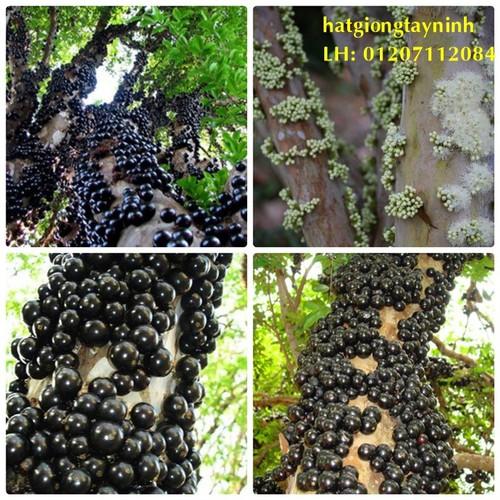 Hạt giống nho thân gỗ gói 4 hạt