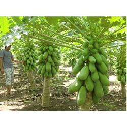 Hạt giống đu đủ lùn siêu trái