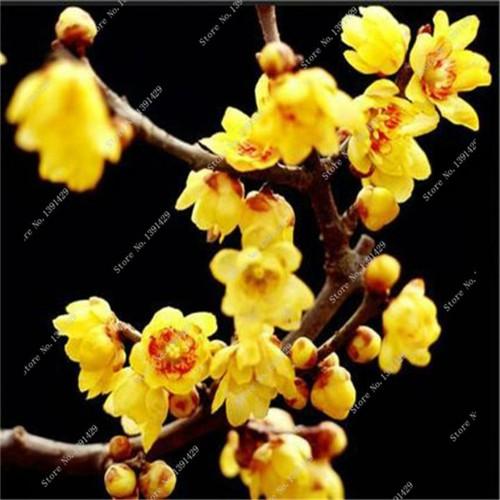 COMBO 5 gói hạt giống cây mai vàng Nhật TẶNG 1 kích mầm