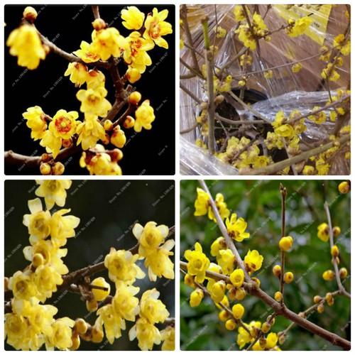 COMBO 2 gói hạt giống cây mai vàng Nhật TẶNG 1 kích mầm