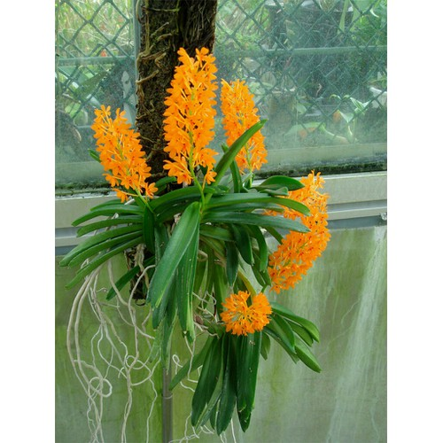 Hoa phong lan hoả hoàng cam