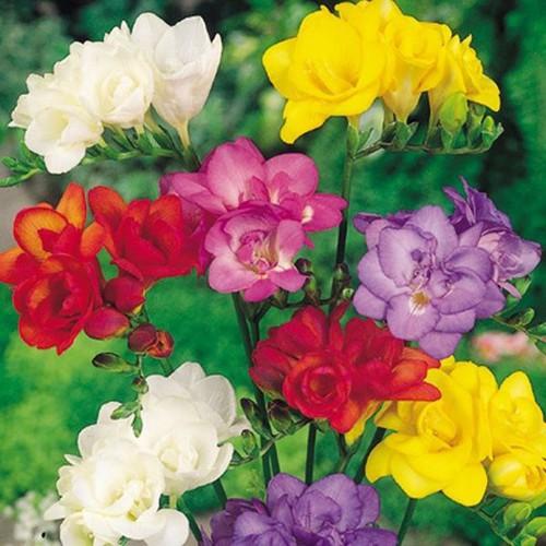 Bộ 4 củ giống hoa lan nam phi 4 màu - 10659606 , 10595768 , 15_10595768 , 110000 , Bo-4-cu-giong-hoa-lan-nam-phi-4-mau-15_10595768 , sendo.vn , Bộ 4 củ giống hoa lan nam phi 4 màu