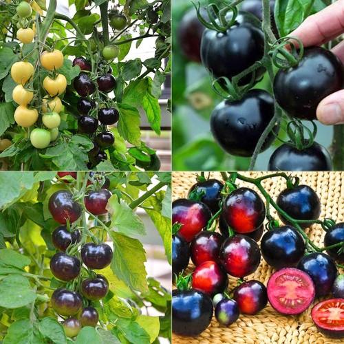 Hạt giống cà chua đen mỹ- tặng kèm 3 viên nén kích thích ươm hạt giống