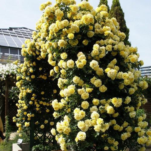 Hạt giống hoa hồng leo màu vàng bán lẻ 30 hạt - 5052792 , 10611926 , 15_10611926 , 10000 , Hat-giong-hoa-hong-leo-mau-vang-ban-le-30-hat-15_10611926 , sendo.vn , Hạt giống hoa hồng leo màu vàng bán lẻ 30 hạt