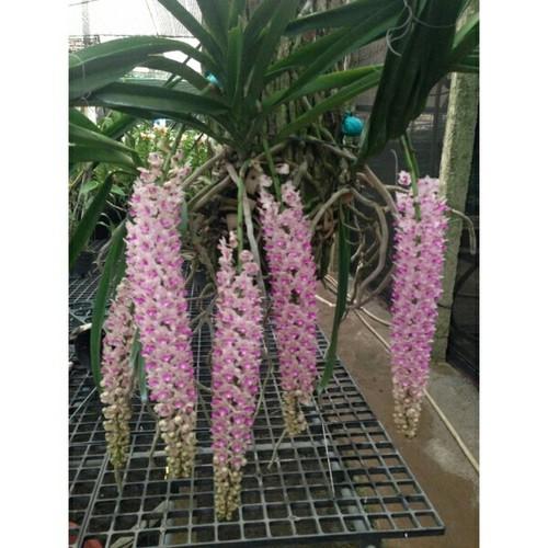 Hoa phong lan sóc thái bảng to
