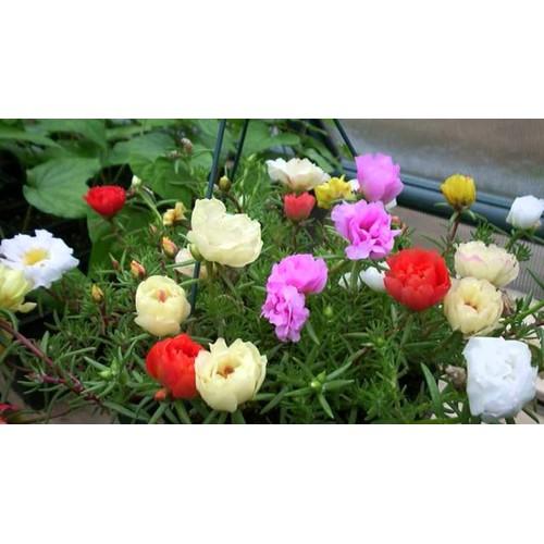 Hạt giống hoa mười giờ mỹ mix nhiều màu Rạng Đông