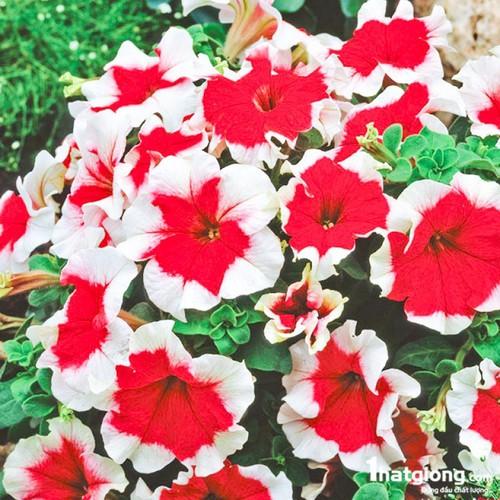 Hạt giống hoa dạ yến thảo sọc trắng Rạng Đông
