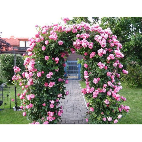 Hạt giống hoa hồng leo màu hồng bán lẻ 30 hạt - 10663447 , 10612382 , 15_10612382 , 10000 , Hat-giong-hoa-hong-leo-mau-hong-ban-le-30-hat-15_10612382 , sendo.vn , Hạt giống hoa hồng leo màu hồng bán lẻ 30 hạt