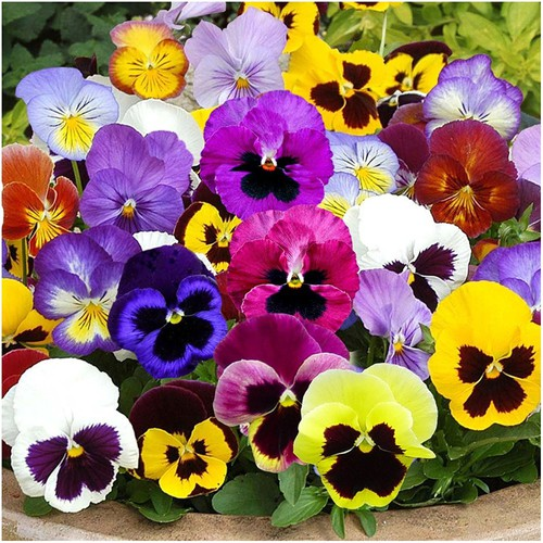Hạt giống hoa viola, cánh bướm, pansy nhiều màu Rạng Đông - 4259750 , 10440984 , 15_10440984 , 20000 , Hat-giong-hoa-viola-canh-buom-pansy-nhieu-mau-Rang-Dong-15_10440984 , sendo.vn , Hạt giống hoa viola, cánh bướm, pansy nhiều màu Rạng Đông