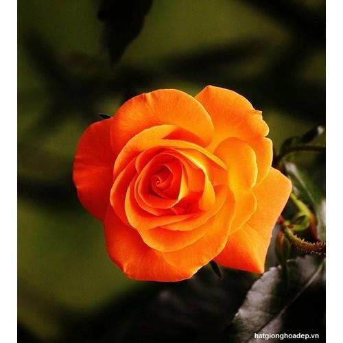 Hạt giống hoa hồng màu cam bán lẻ 30 hạt - 7868226 , 10773167 , 15_10773167 , 10000 , Hat-giong-hoa-hong-mau-cam-ban-le-30-hat-15_10773167 , sendo.vn , Hạt giống hoa hồng màu cam bán lẻ 30 hạt