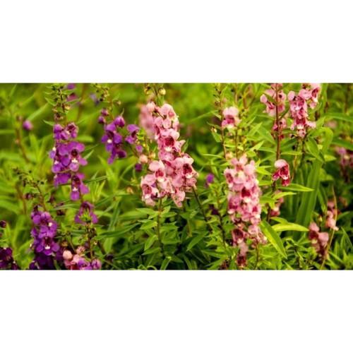 2 gói Hạt giống hoa ngọc hân - 10712924 , 10840675 , 15_10840675 , 24000 , 2-goi-Hat-giong-hoa-ngoc-han-15_10840675 , sendo.vn , 2 gói Hạt giống hoa ngọc hân