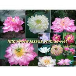 Hạt giống hoa sen Bách diệp 5 hạt 5 màu khác nhau