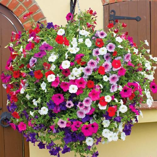 Hạt giống hoa Dạ yến thảo kép Mix - 10468427 , 10842847 , 15_10842847 , 11000 , Hat-giong-hoa-Da-yen-thao-kep-Mix-15_10842847 , sendo.vn , Hạt giống hoa Dạ yến thảo kép Mix