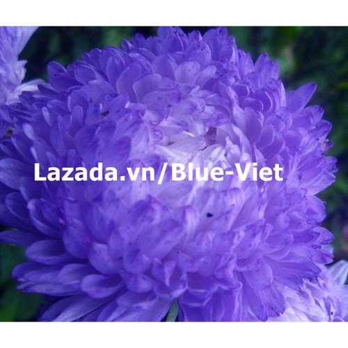 Hạt giống hoa Cúc đại đóa xanh tím - 10468367 , 10842637 , 15_10842637 , 21000 , Hat-giong-hoa-Cuc-dai-doa-xanh-tim-15_10842637 , sendo.vn , Hạt giống hoa Cúc đại đóa xanh tím