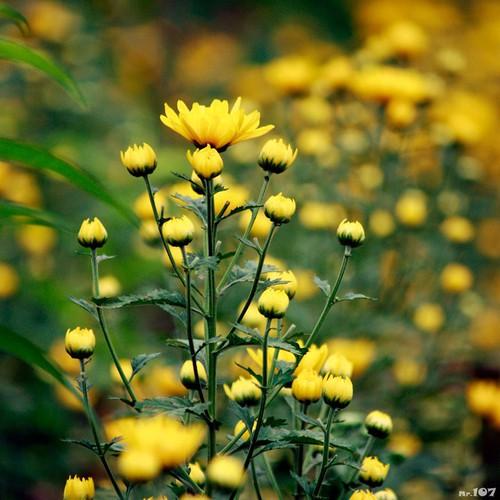 Bộ 2 gói Hạt giống hoa cúc vàng - 4612731 , 13824003 , 15_13824003 , 45000 , Bo-2-goi-Hat-giong-hoa-cuc-vang-15_13824003 , sendo.vn , Bộ 2 gói Hạt giống hoa cúc vàng