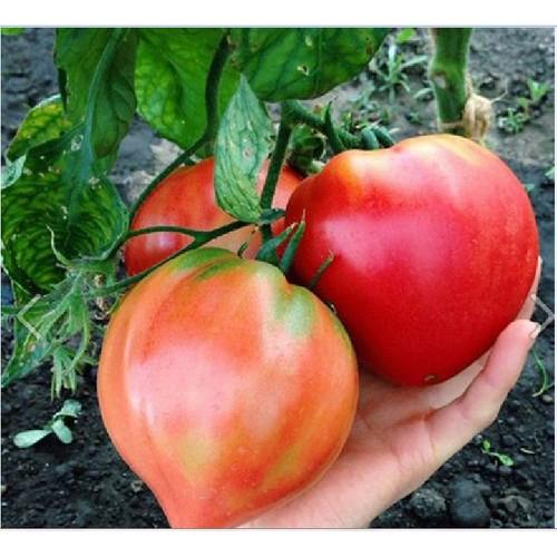 Hạt giống cà chua hình trái tim_ tặng kèm 3 viên nén kích thích ươm hạt giống - 4305391 , 10497978 , 15_10497978 , 25000 , Hat-giong-ca-chua-hinh-trai-tim_-tang-kem-3-vien-nen-kich-thich-uom-hat-giong-15_10497978 , sendo.vn , Hạt giống cà chua hình trái tim_ tặng kèm 3 viên nén kích thích ươm hạt giống