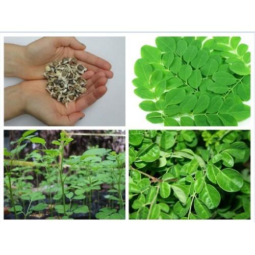 Hạt cây giống chùm ngây gói 10 hạt