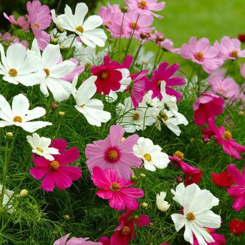 Hạt giống hoa Cánh Bướm - 4301384 , 10492347 , 15_10492347 , 30000 , Hat-giong-hoa-Canh-Buom-15_10492347 , sendo.vn , Hạt giống hoa Cánh Bướm