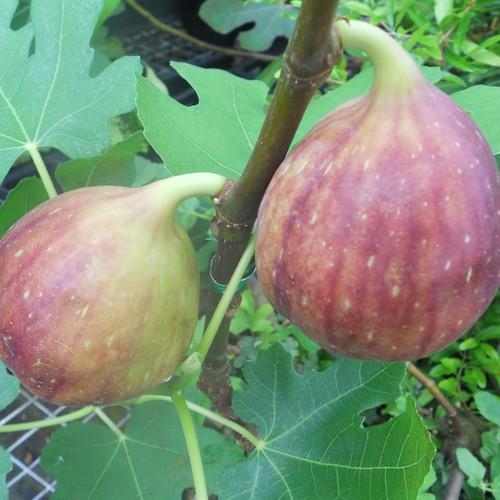 COMBO 6 gói hạt giống cây sung ngọt mỹ TẶNG 1 phân bón