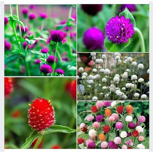 Hạt giống hoa cúc bách nhật mix 100 hạt