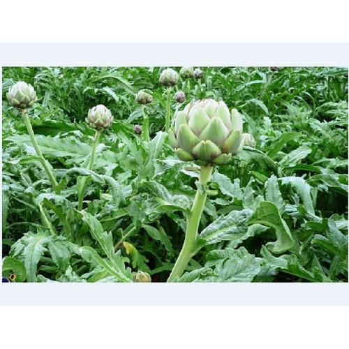 Hạt giống atiso xanh _ 1 gói 5 hạt tặng kèm 5 viên nén ươm hạt