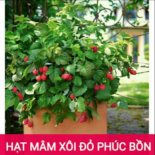 Hạt giống quả mâm xôi đỏ, đen