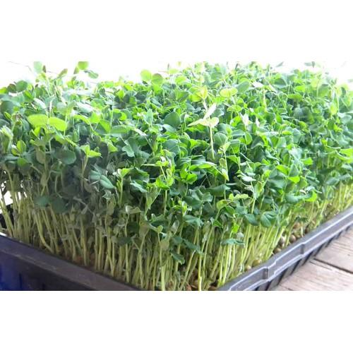 Hạt giống mầm đậu hà lan Phú Nông