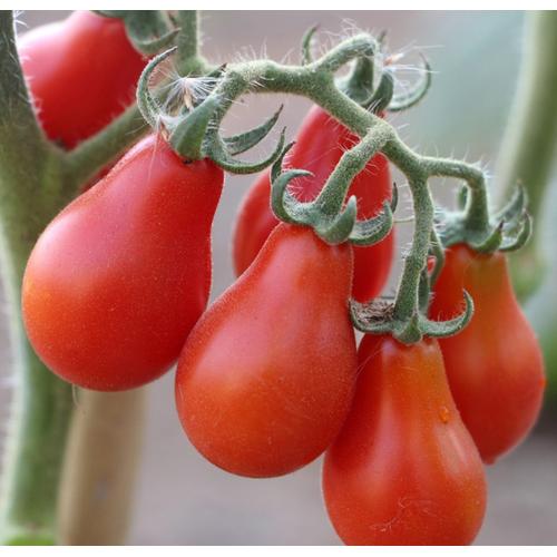 Hạt giống cà chua bi quả lê đỏ