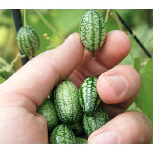 Hạt giống dưa hấu mini