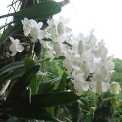 3 cây giáng hương bạch nhạn