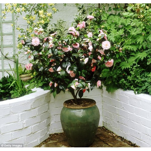 Hạt giống hoa trà my mix màu - 7878958 , 11366854 , 15_11366854 , 35000 , Hat-giong-hoa-tra-my-mix-mau-15_11366854 , sendo.vn , Hạt giống hoa trà my mix màu