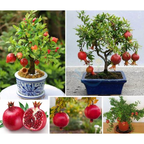 Hạt giống lựu lùn bonsai - 10842989 , 11398730 , 15_11398730 , 32000 , Hat-giong-luu-lun-bonsai-15_11398730 , sendo.vn , Hạt giống lựu lùn bonsai