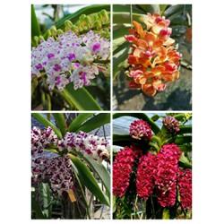 hoa phong lan đai châu hoa tết