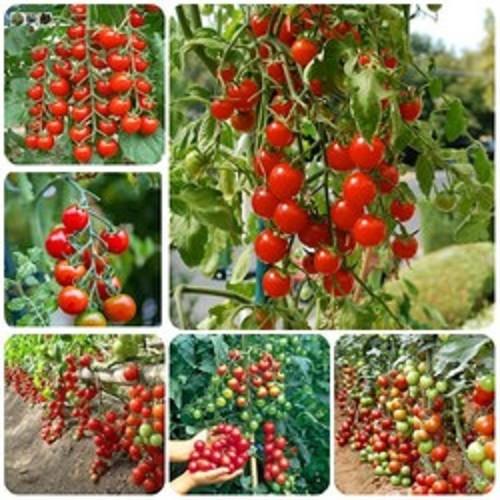 Hạt giống cà chua bi đỏ leo - 5139484 , 11435135 , 15_11435135 , 29000 , Hat-giong-ca-chua-bi-do-leo-15_11435135 , sendo.vn , Hạt giống cà chua bi đỏ leo