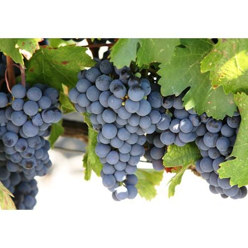 hạt giống nho Pháp lùn f1 - 10762830 , 11062784 , 15_11062784 , 55000 , hat-giong-nho-Phap-lun-f1-15_11062784 , sendo.vn , hạt giống nho Pháp lùn f1