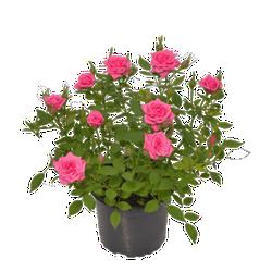 Chậu hoa hồng siêu nụ Đà Lạt - Hoa hồng siêu nụ màu hồng