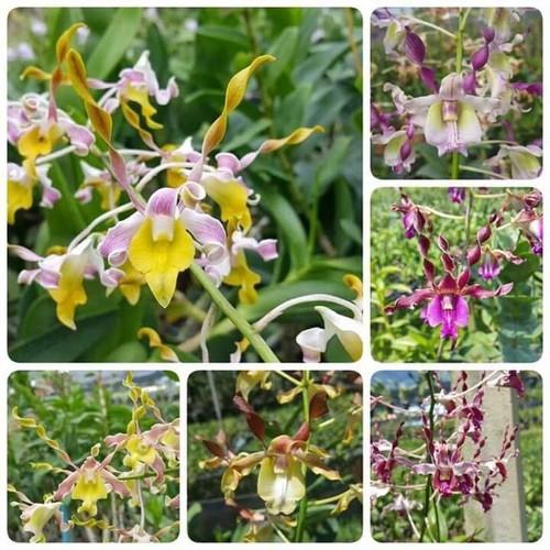 Hoa phong lan đen nắng hổ mang