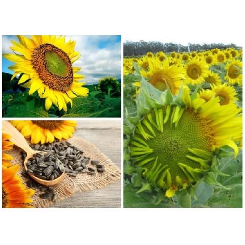 Hạt giống hoa hướng dương khổng lồ_ tặng kèm 1 gói kích thích nảy mầm - 5345054 , 11693335 , 15_11693335 , 40000 , Hat-giong-hoa-huong-duong-khong-lo_-tang-kem-1-goi-kich-thich-nay-mam-15_11693335 , sendo.vn , Hạt giống hoa hướng dương khổng lồ_ tặng kèm 1 gói kích thích nảy mầm