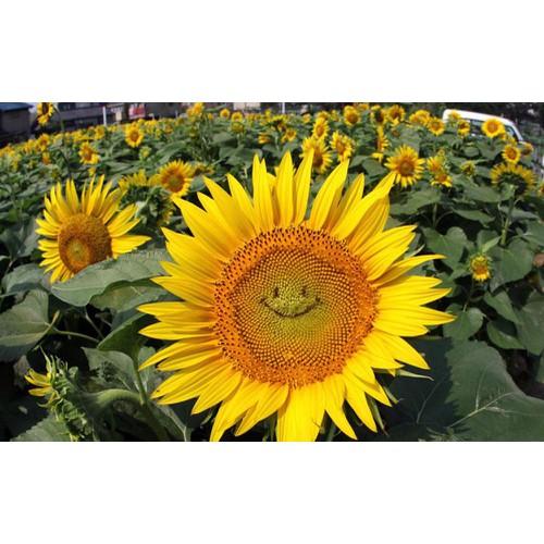 Hạt giống Hoa Hướng dương mặt cười - 5391149 , 11753847 , 15_11753847 , 34000 , Hat-giong-Hoa-Huong-duong-mat-cuoi-15_11753847 , sendo.vn , Hạt giống Hoa Hướng dương mặt cười