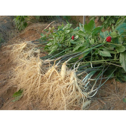 COMBO 5 gói hạt giống sâm Hàn Quốc TẶNG 1 phân bón - 4487846 , 11777601 , 15_11777601 , 150000 , COMBO-5-goi-hat-giong-sam-Han-Quoc-TANG-1-phan-bon-15_11777601 , sendo.vn , COMBO 5 gói hạt giống sâm Hàn Quốc TẶNG 1 phân bón