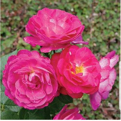 Đặc trị nấm bệnh cây hoa hồng - bộ tứ sản phẩm