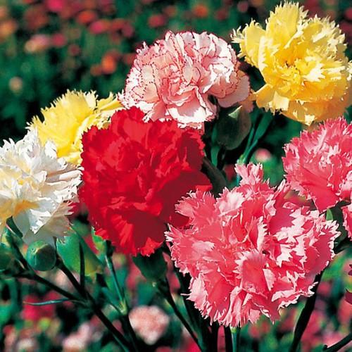 Bộ 5 gói Hạt giống hoa cẩm chướng - 6088262 , 12611217 , 15_12611217 , 99000 , Bo-5-goi-Hat-giong-hoa-cam-chuong-15_12611217 , sendo.vn , Bộ 5 gói Hạt giống hoa cẩm chướng