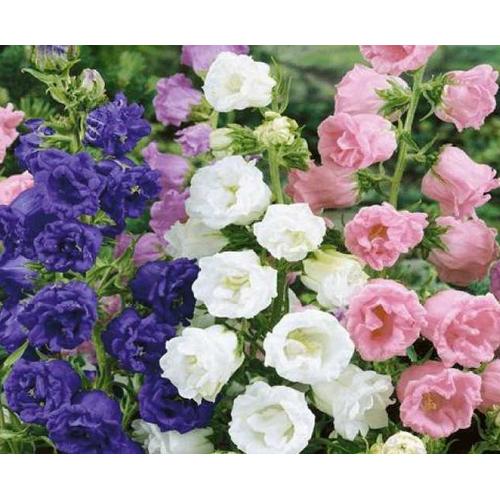 Hạt giống hoa chuông kép mix