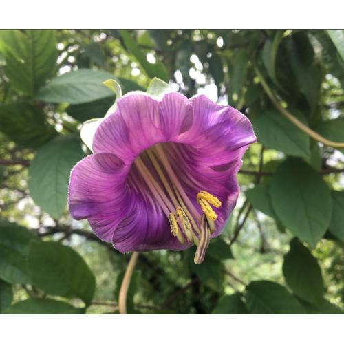 Hạt giống hoa chuông leo