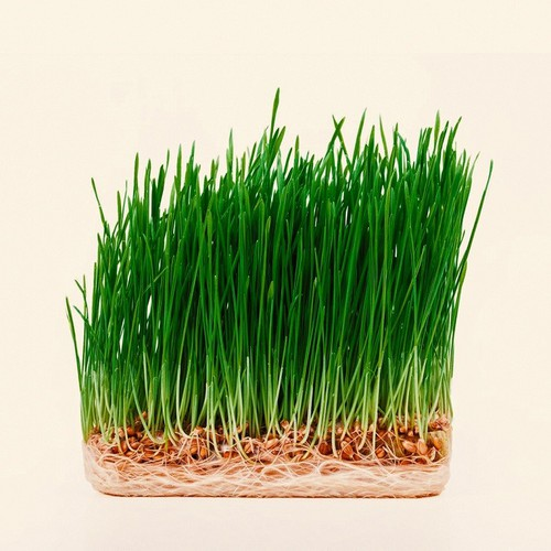 Hạt giống mầm lúa mạch - cỏ lúa mì - 5212212 , 11512130 , 15_11512130 , 20000 , Hat-giong-mam-lua-mach-co-lua-mi-15_11512130 , sendo.vn , Hạt giống mầm lúa mạch - cỏ lúa mì