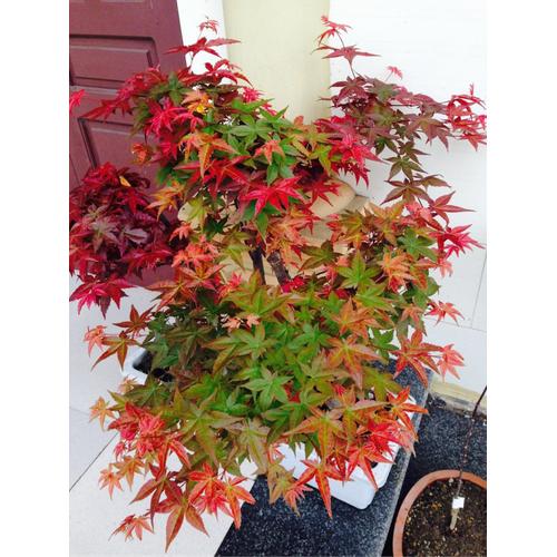 2 gói Hạt giống Cây Phong lá đỏ - 5215376 , 11516338 , 15_11516338 , 40000 , 2-goi-Hat-giong-Cay-Phong-la-do-15_11516338 , sendo.vn , 2 gói Hạt giống Cây Phong lá đỏ
